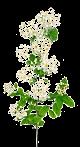 La reine des prés (Fillipendula ulmaria)